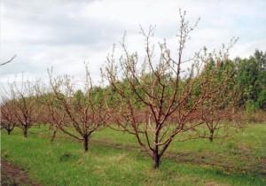 как правильно посадить саженец яблони весной у себя дома или на даче - советы начинающему садоводу.