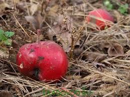 Чому на яблуні обпадають плоди