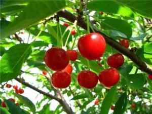 Дерево вишня довгий час не плодоносить