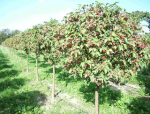 сад з яблунь, садівництво