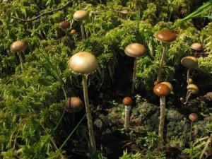 Різновид психоделічних грибів какашкина лисина або Строфарія гівняна (lat. Stropharia coprophila)