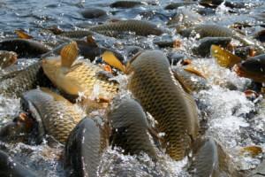 домашний пруд разведение рыбы, строительство водоема для разведения рыбы, разведение рыбы в искусственных бассейнах