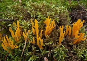 The fungus inedible calocera adhesive (Calocera viscosa) - description and pictures of the fungus