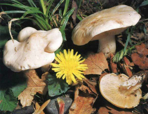 Edible mushroom Kalotsibe May, Georgiev mushroom calocybe gambosa May or fungus, description and photos, where to find the fungus in May