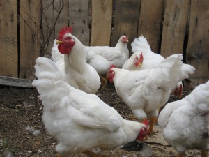 broilers in the country, the contents in the home, home to grow broilers
