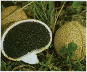 Слабо отруйний гриб помилковий дощовик фото і опис неїстівних та отруйних грибів з назвами. Картинки неїстівних грибів для дітей. Як виглядає гриб помилковий дощовик.