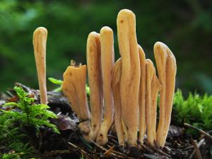 Съедобный гриб рогатик язычковый, клавариадельфус язычковый фото и описание несъедобных грибов. Как выглядит гриб.
