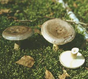 Умовно їстівний гриб сірушка фото і опис, як виглядає неїстівний гриб сірушка
