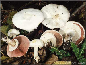 Poisonous mushroom agaricus xanthodermus or champignon ryzheyuschy photo and description of poisonous mushrooms with names. Pictures of poisonous mushrooms for children and parents. What is inedible mushroom