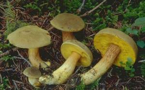How does a mushroom the flywheel. Edible mushroom Reshetnik the flywheel or where to look and when. Photos edible mushrooms for children