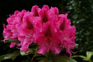 Pink Rhododendron tree, how to care at home. Rhododendron Flower photo. Beautiful flower, photo and description