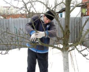 Уход за деревьями зимой. Как ухаживать за зимним садом. Правильная обрезка плодовых деревьев зимой.