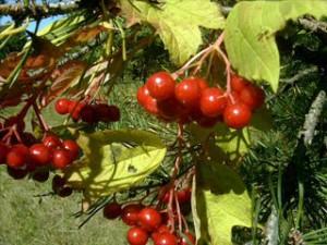 Калина, болезни и вредители. Правильный уход за кустом калины. Как вылечить дерево.
