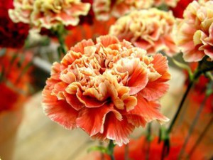 Carnation, care and cultivation of the seeds at home. Growing flowers carnation homes in the country or in the greenhouse. Care cloves