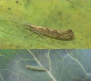 Photos, cabbage moth, cabbage pierid looks like a butterfly or a caterpillar. Measures against diamondback moths. Tips gardeners