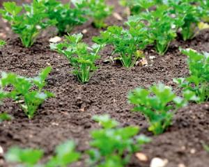 Parsley root is sweet, home cultivation in the greenhouse or in the open field. How to grow parsley from seed in the country. Technology