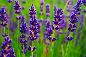 Growing lavender herb in a garden at home. Lavender healing properties, butter, tea. How to grow lavender house in the country. Technology and conditions