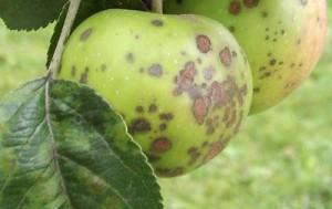 Болезнь, на яблоках появляются точки темного цвета. Как вылечить яблоню от парши.
