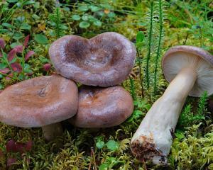 mlechniki photo mushrooms