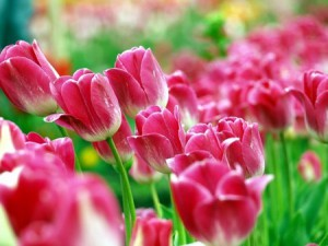 Interesting facts about tulips. Varieties of tulips, history, how to look, photo