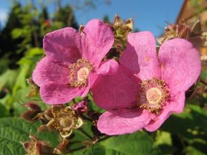 Interesting malinoklen fragrant bush, photo and description. How to grow at home in the country, leaving behind a bush raspberry maple sheets