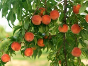 Як правильно вирощувати дерево персик в саду на дачі. Опис дерева, вирощування в Україні, Білорусі і в середній смузі.