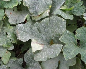 Downy Mildew of cucumbers, photo, control measures. How to get rid of cucumbers and cure disease