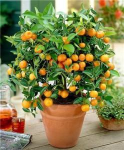 Как влияют цитрусовые растения и деревья на организм и здоровье человека. Эффект от комнатного цитрусового растения.