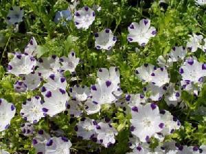 Nemophila description. How to grow flowers in the garden at the cottage. Tips, photos nemofila