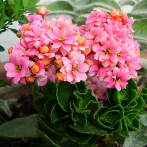 Kalanchoe flower, care at home