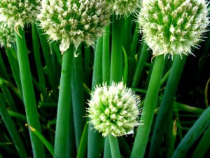 Bunching onion April, growing from seed in spring. Planting and Care, photos, description