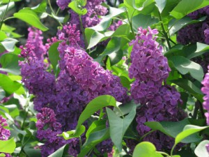 Beautiful lilac bush, photo and description. Choosing the right place to land