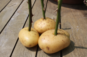 Rooting cuttings of roses in a bouquet of potato at home, photos and instructions