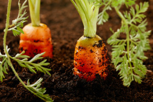 Proper care of carrots in the open field, to care and to combat diseases of carrots