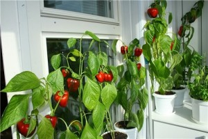 We grow tomatoes, cucumbers, fresh herbs in the apartment, in a mini vegetable garden on the balcony