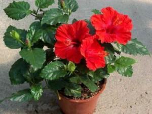 Кімнатна квітка вампір або китайська троянда смерті.