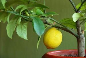Секрети правильного вирощування дерева лимона у себе в квартирі.