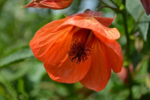Winter maintenance, how to care for abutilon winter