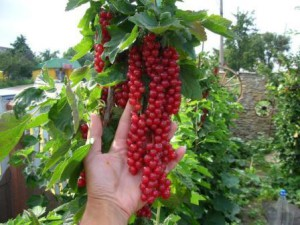 How to make a red or black currants on trunks