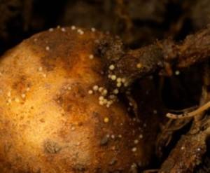 Potato disease - golden nematode, photos and tips for disease treatment