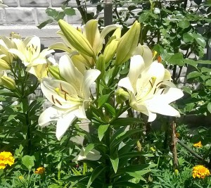 How to look like a lily flowers home, care and cultivation in the home. Photos and descriptions