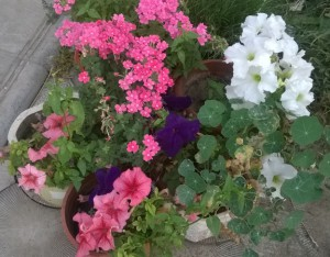 Beautiful flowers in containers in the garden