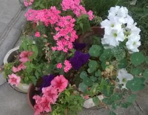 Красиві квіти в контейнерах, в саду.