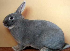 Decorative rabbits squirrel breed, photo and description