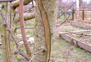 Борозда на коре дерева. Как и зачем делать? Увеличиваем урожай с дерева природным способом! Описание и фото.
