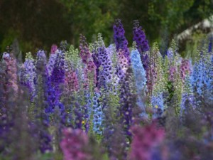Reproduction delphinium, all of the most productive ways