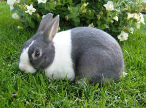 Breed Dutch rabbit, photo and description