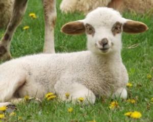 How to grow lambs at home, description, photos, tips