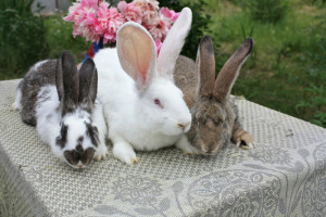 The most favorable for breeding rabbits at home, profitable or not?