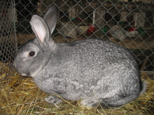Description rabbits Soviet Chinchilla looks like. Photos and descriptions